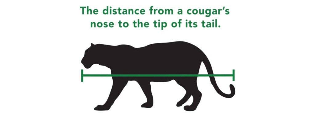 Au Canada dans le parc de Vancouver, 2 m = la taille d'un cougar du nez au bout de sa queue