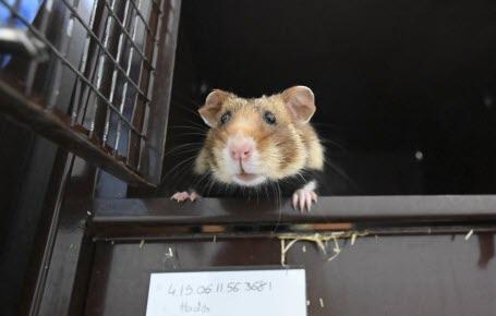 La pouponnière qui sauve le grand hamster